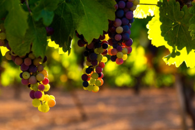 Vineyard and Winery Business for Sale Hastings