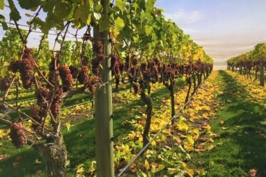 Premium Pinot Noir Vineyard Business for Sale Central Otago