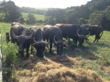 Water Buffalo Dairy Assets Business for Sale Wellsford Auckland